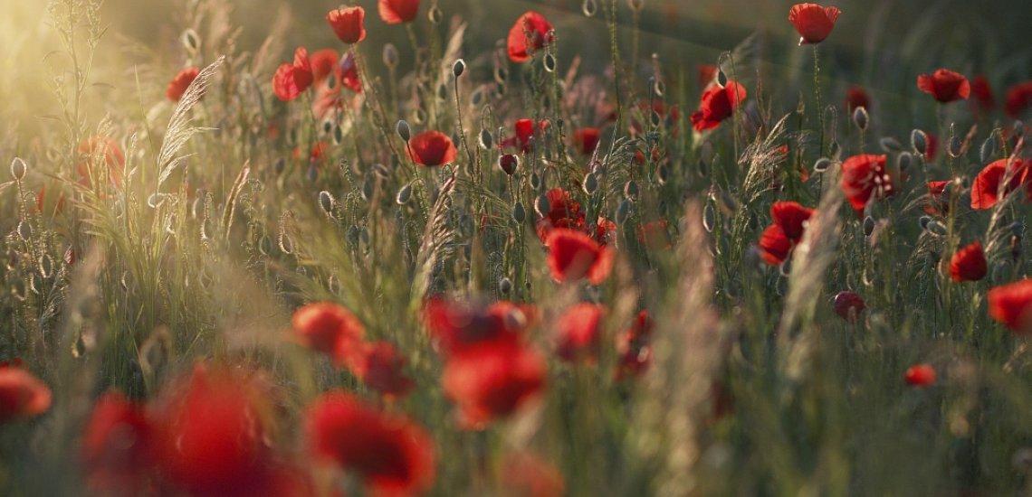 Der Mohn muss herhalten für eine anzügliche Bloomy Days-Kampagne (c) Thinkstock/PM78