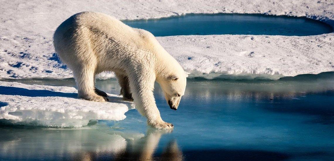 Einmal ins Internet gestellt, verbreitete Mario Hoppmanns Eisbären-Bild sich auf seltsamen Wegen. (c) Alfred-Wegener-Institut/Mario Hoppmann