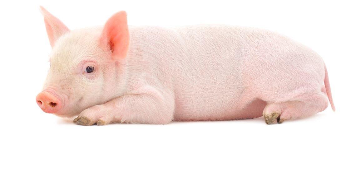 Multimediareportagen führen die Kommunikatoren von Schwäbisch Hall auch schon einmal in Schweineställe. (c) Thinkstock/Tsekhmister