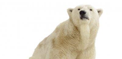 Im Zoo die Nummer eins: der Eisbär. (c) Thinkstock/JackF