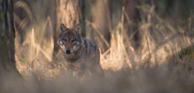 Wie macht man, trotz stetiger negativer Berichterstattung, PR für den Wolf? (c) NABU/Heiko Anders